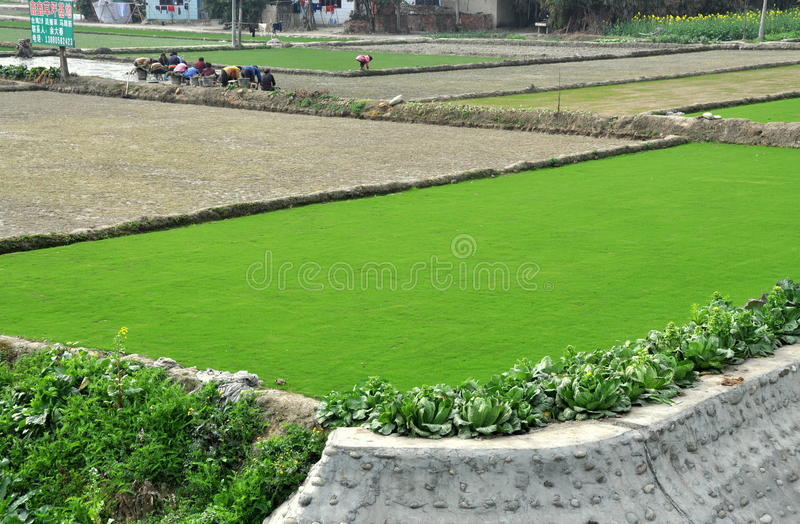 Pengzhou, China: Fields of Green Sod. Large field divided into separate plots by earthen berms where deep green sod is grown for commercial usage with a royalty free stock photo