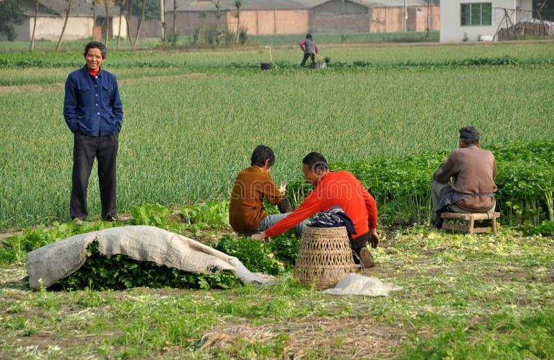 Pengzhou, China: Landbouwers die Selderie oogsten stock foto's