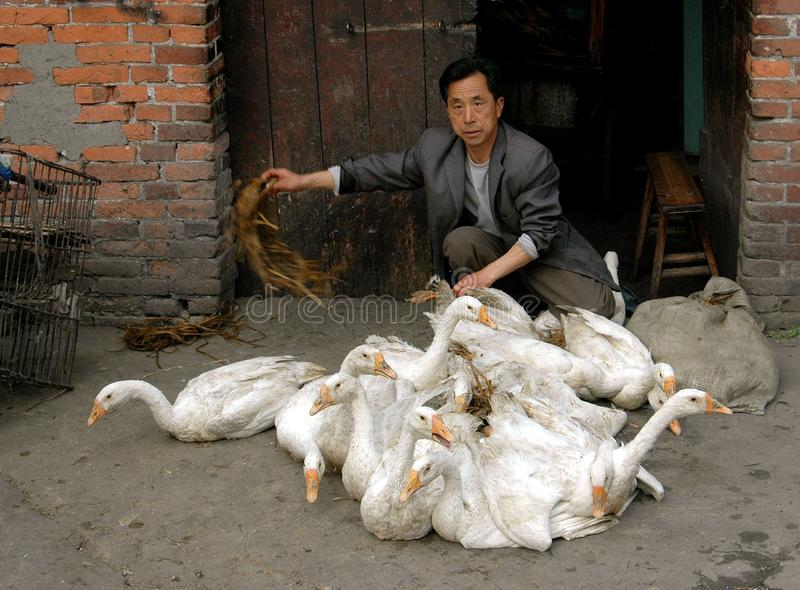 Download Pengzhou, China: Man With Flock Of Ducks Editorial Photography - Image: 15051797
