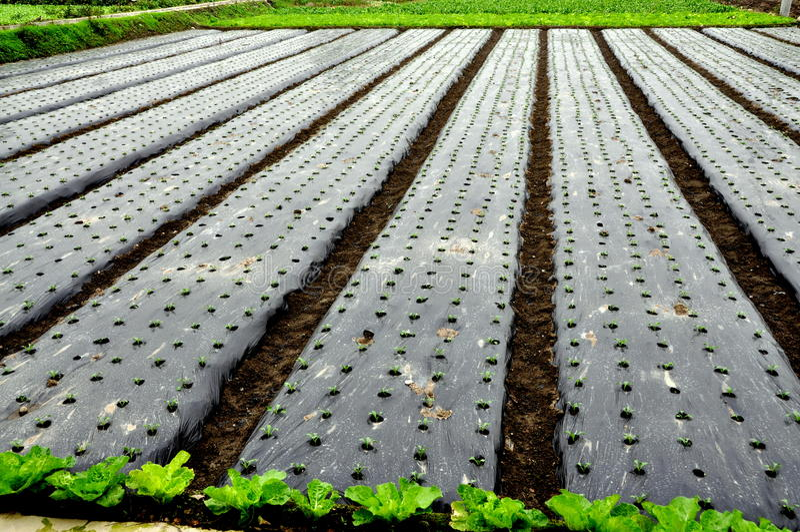 Pengzhou, China: Seedlings crescidos sob o plástico fotos de stock