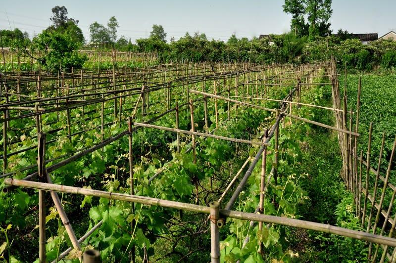 Pengzhou, China: Weinreben im Weinberg lizenzfreie stockfotos