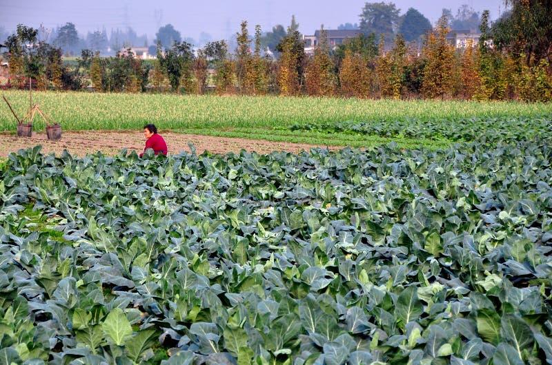 Pengzhou, China: Woman in Field of Cauliflower royalty free stock photo