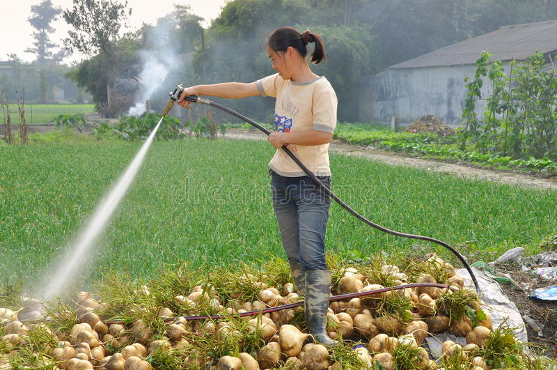 Pengzhou, China: Woman Washing Turnips royalty free stock image