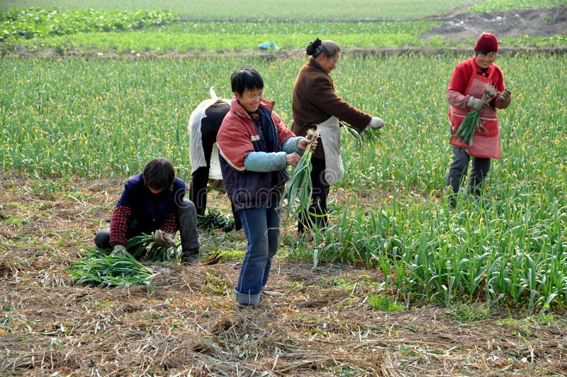 Pengzhou, Chine : Femmes moissonnant l'ail photo stock
