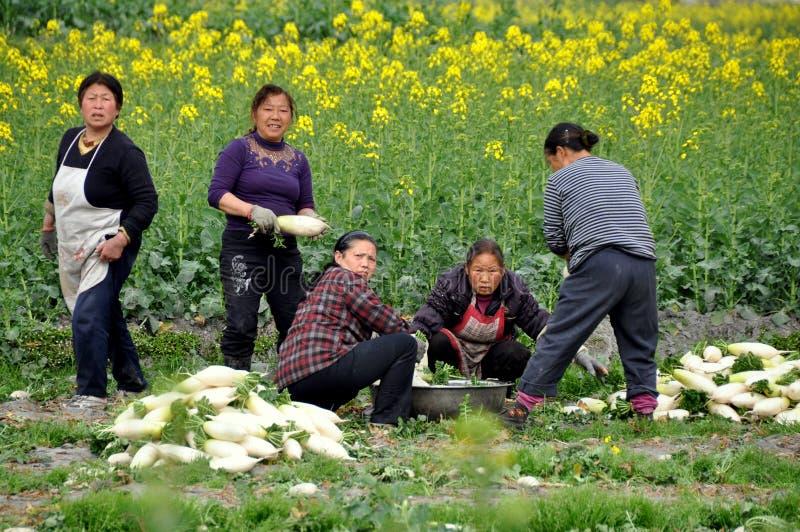 Pengzhou, Cina: Donne che lavano i ravanelli fotografia stock libera da diritti