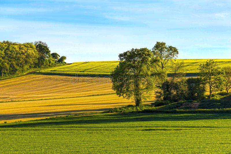 Field of sown barley stock image