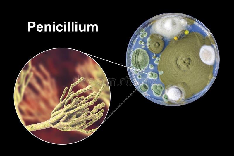 Penicilliumformsvampar, illustration och foto av kolonin som är fullvuxna på närande medel vektor illustrationer