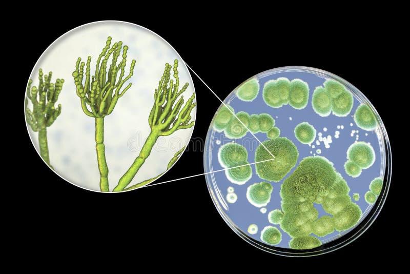 Penicilliumformsvampar, illustration och foto av kolonin som är fullvuxna på närande medel royaltyfri illustrationer