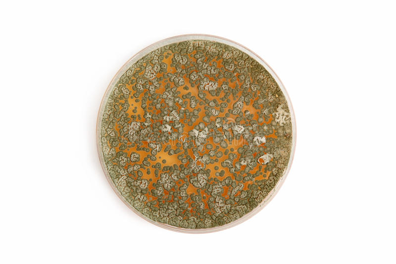 Penicillum fungi on agar plate over white stock photo