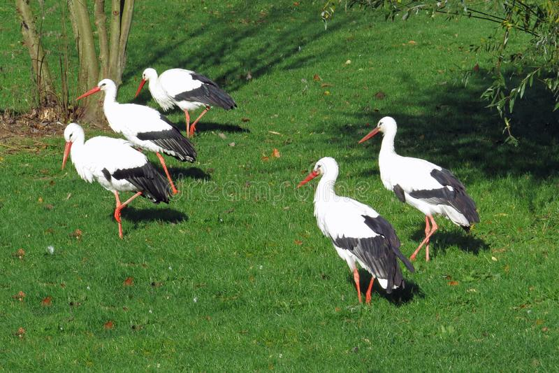 Five storks on a meadow royalty free stock photography