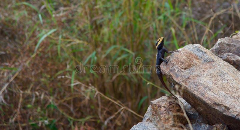 Peninsulaire Rotsagama - Nilgiris Forest Lizard stock afbeeldingen