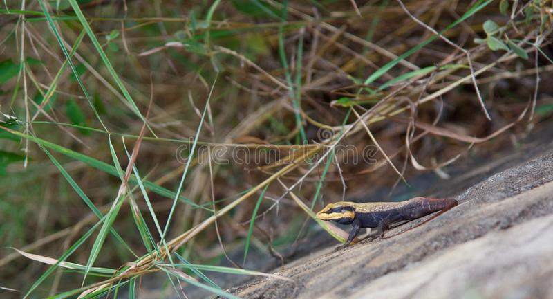 Peninsulaire Rotsagama - Nilgiris Forest Lizard op een rots royalty-vrije stock fotografie
