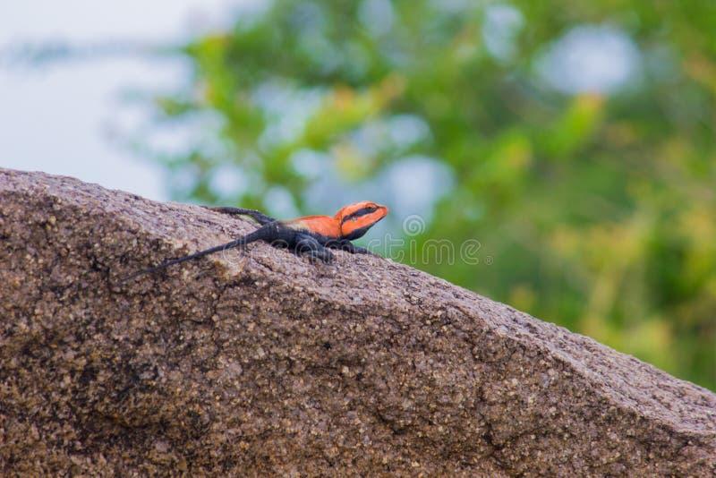 Peninsular Rock Agama lizard sitting on the rock royalty free stock image