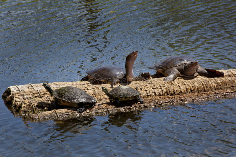 Penisula & Florida Softshell Turtles. Peninsula Turtles, Pseudemys floridana peninsularis, and a Florida Sofshell Turtles, Apalone ferox, all rest together on stock images