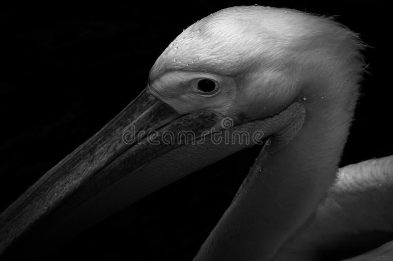 Penlican ptak obrazy stock