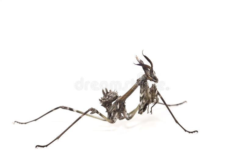 pennata εντόμων empusa στοκ εικόνα με δικαίωμα ελεύθερης χρήσης