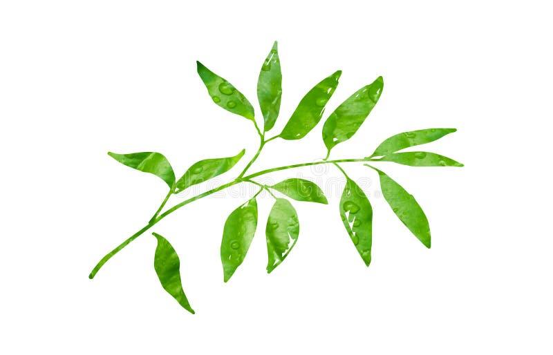Penndragen gren med gröna blad i dagg royaltyfri illustrationer