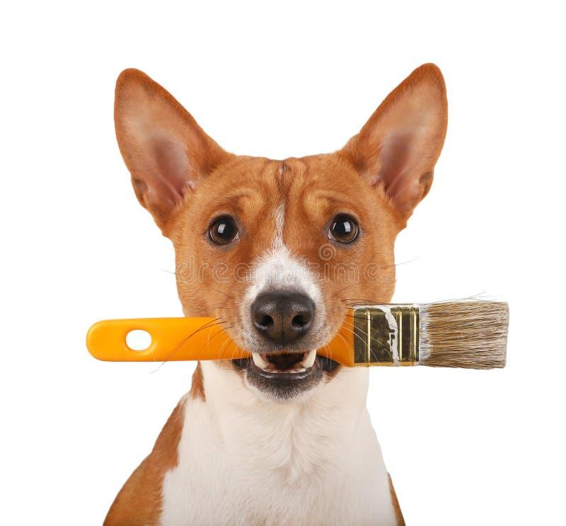 Pennello della presa del cane di Basenji in suoi denti isolati immagine stock libera da diritti