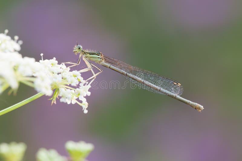 Pennipes Platycnemis мужские стоковые фотографии rf