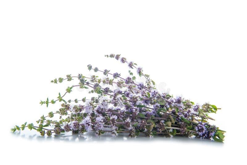 Penniroyal ou herbes de pulegium de mentha d'isolement sur le blanc image stock