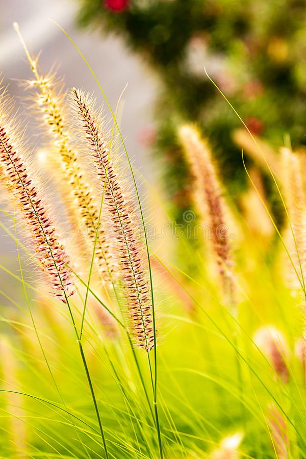 Penniselum grass in red or purple, ornamental grass. In sunlight royalty free stock photos