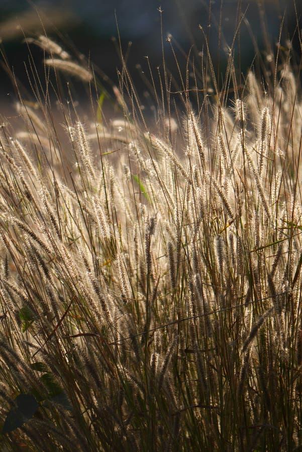 Pennisetum пера стоковое изображение rf