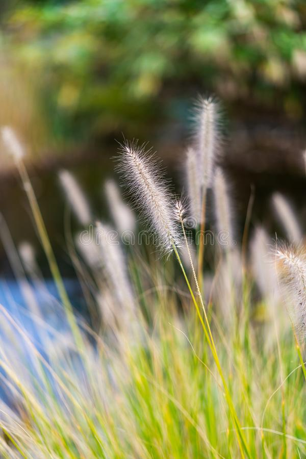 Pennisetum alopecuroides during autumn or summer stock photo
