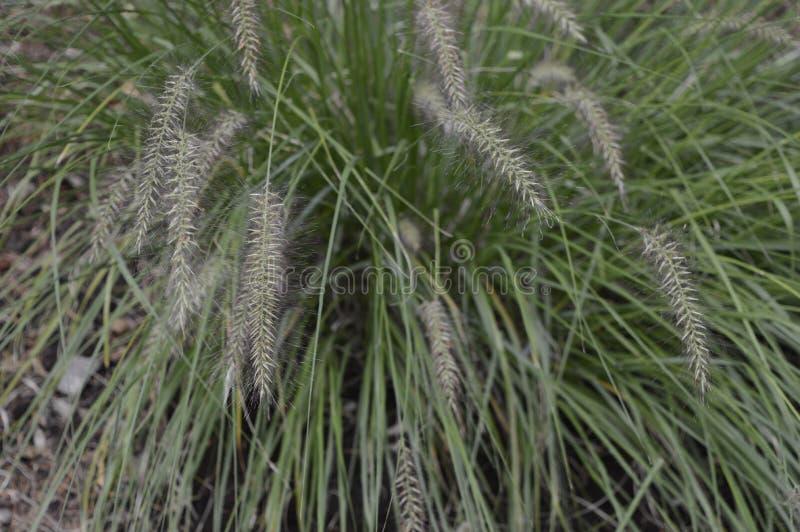 Pennisetum alopecuroides dzwoniący jako karłowata fontanny trawa zdjęcie stock