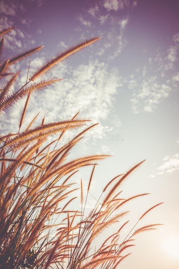 Pennisetum de plume rougeoyant contre le ciel comme fond de nature vi photographie stock