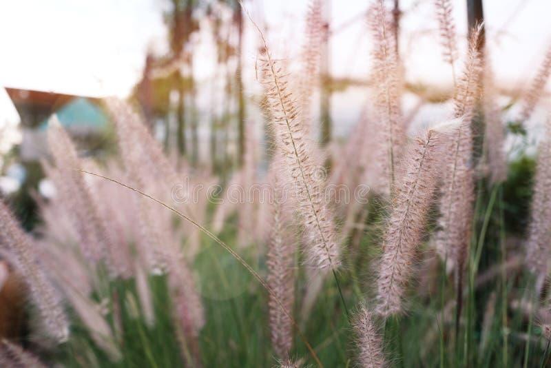 Pennisetum, ornamentacyjni trawa pióropusze, trawa kwiat w ogródzie zdjęcie royalty free