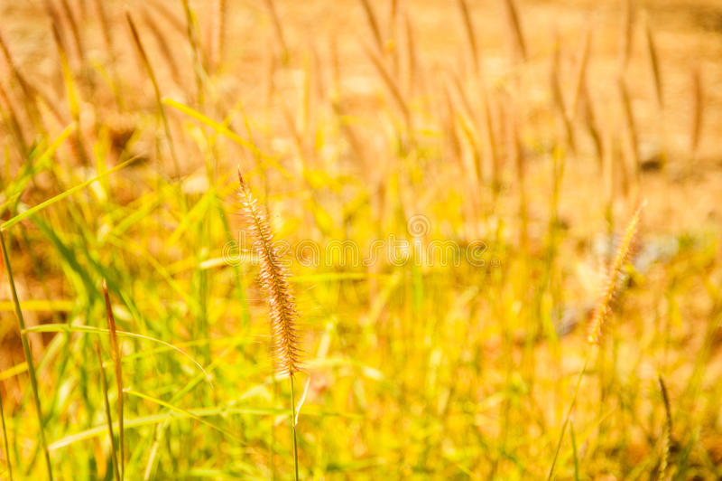 Pennisetum pedicellatum Gras stockfotografie