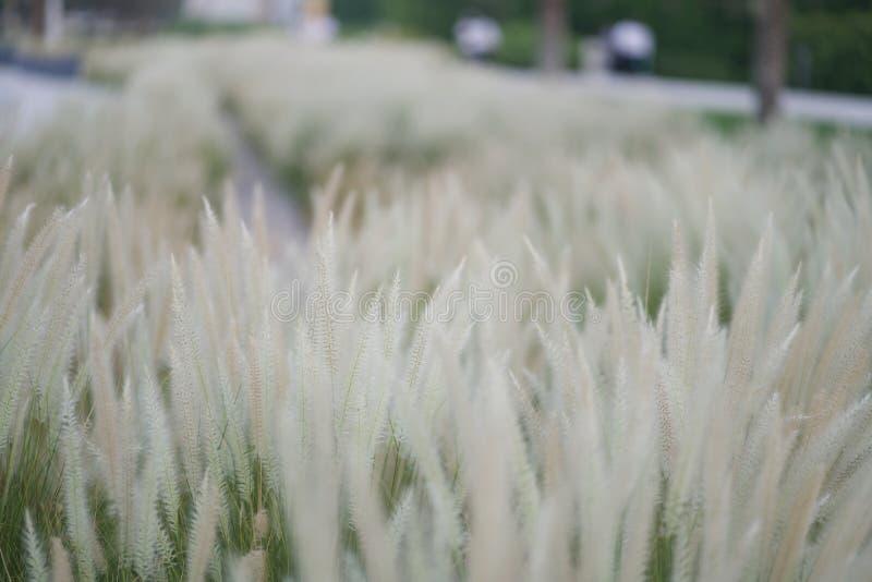 Pennisetum setaceum , African Fountain Grass , Tender Fountain Grass , Decoration grass royalty free stock images