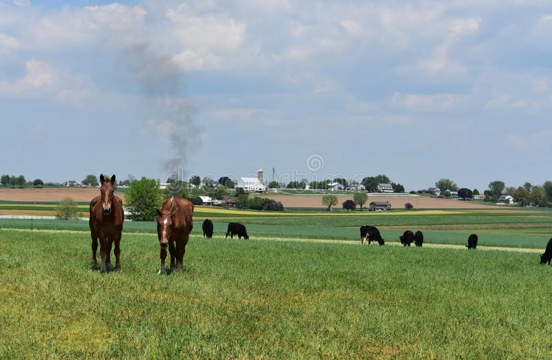 Pennsylvania Farm with a Pair of Chestnut Horses and Cows stock images