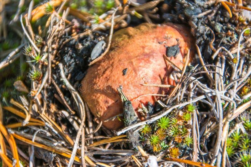 The penny bun amanita close-up in nature. Yamal. Arctic nature. Close up royalty free stock photos