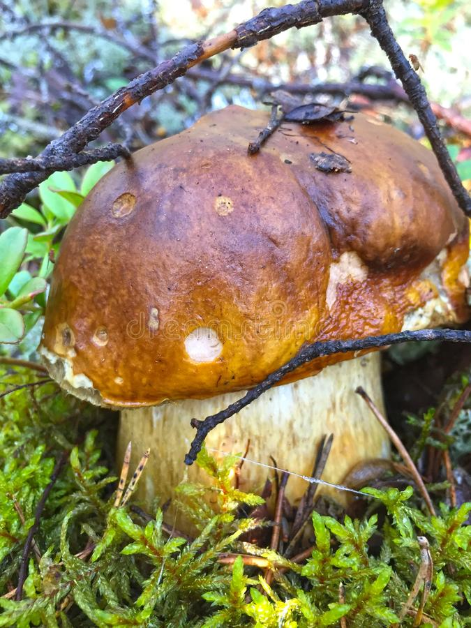 Penny Bun, Mushroom, Fungus, Bolete stock image