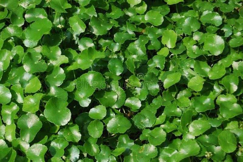 Pennywort-Centella asiatica voor muurdocument stock afbeelding