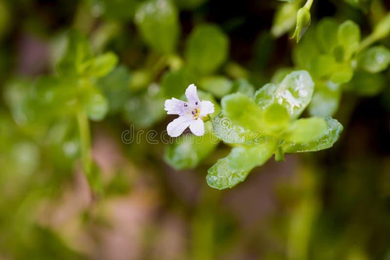 Pennywort indiano, monnieri de Bacopa do brahmi, flores no fundo natural imagem de stock
