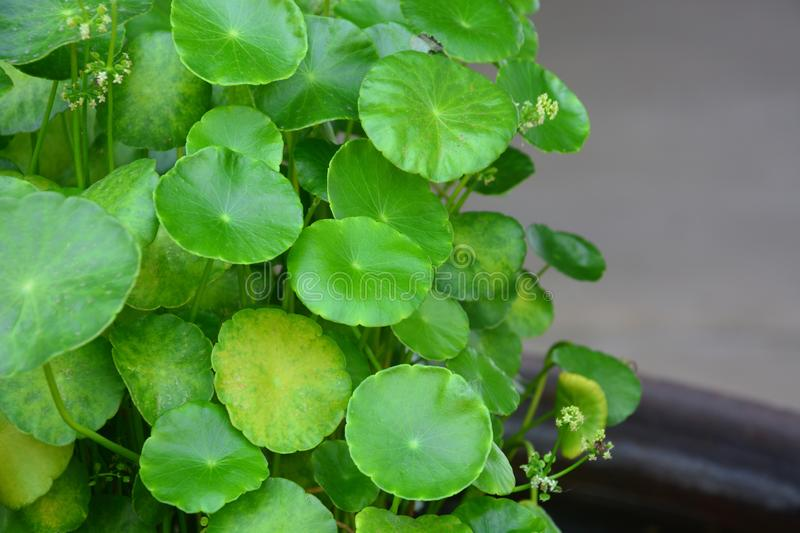 Pennywort naturel d'eau douce ou feuille asiatica de centella, traitement de fines herbes photo libre de droits