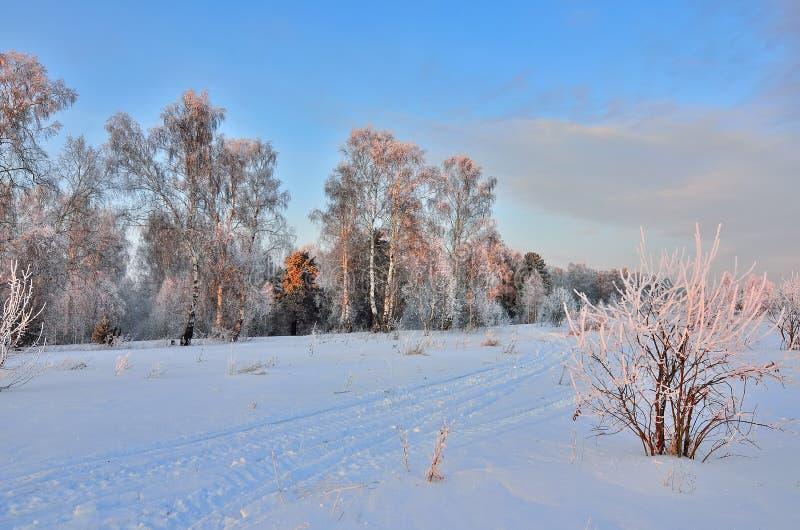 Penombra rosa nella foresta di inverno - bello paesaggio di inverno fotografia stock