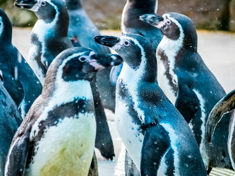 Penquin with friends close up standing show in side view in zoo thailand. royalty free stock photo