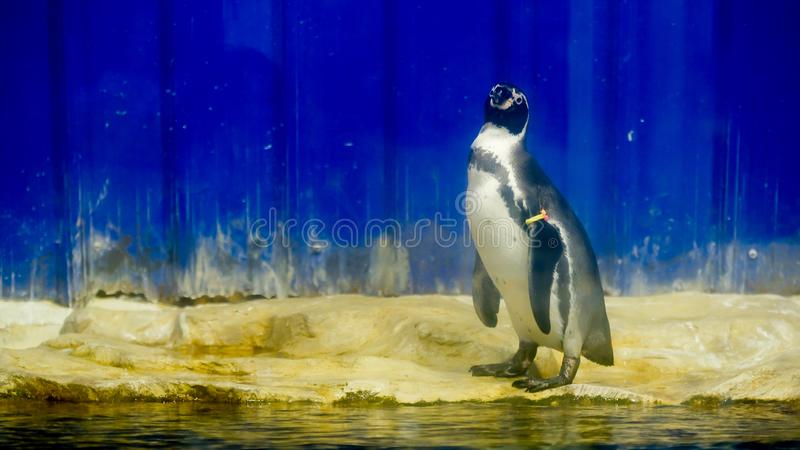 Penquin standing in the zoo royalty free stock photography