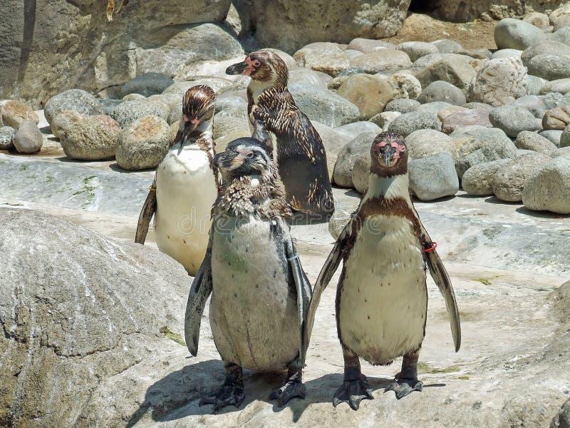 Download Penquins on rocks stock photo. Image of black, beak, water - 36758738