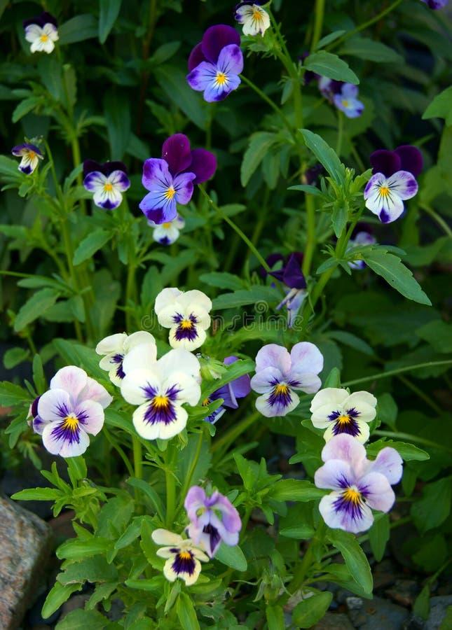 Pensée de fleur image stock