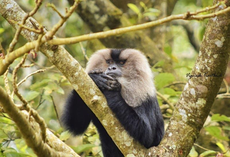 Pensée profonde - macaque coupé la queue par lion image libre de droits