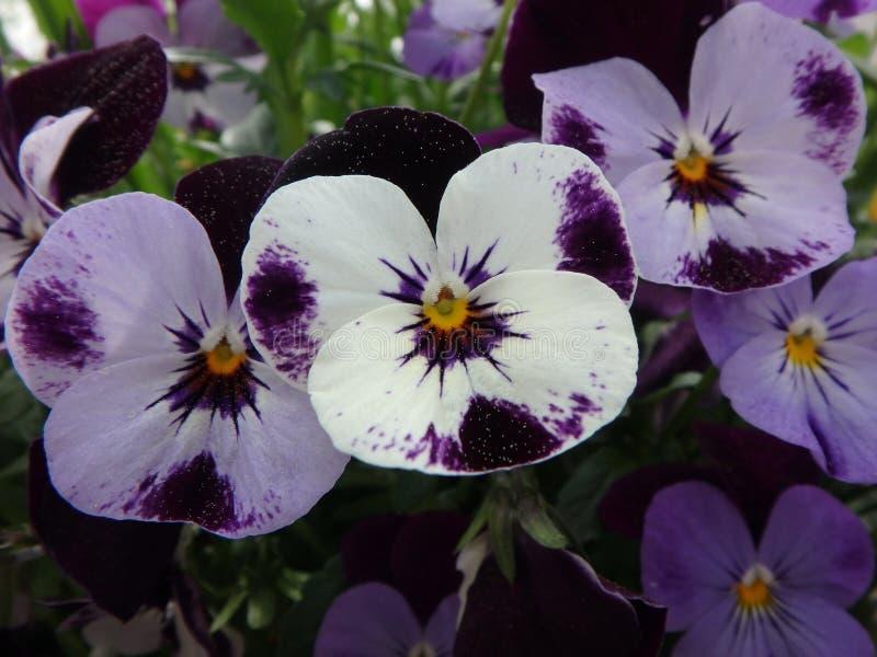 Pensées pourpres merveilleuses avec le pollen, pensée, alto, violaceae, fleurs photos stock