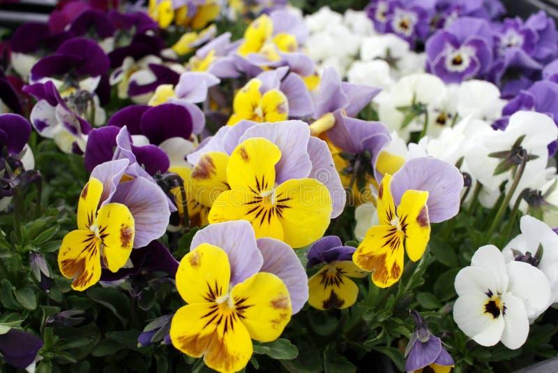 pensées violettes Viola Flowers images stock