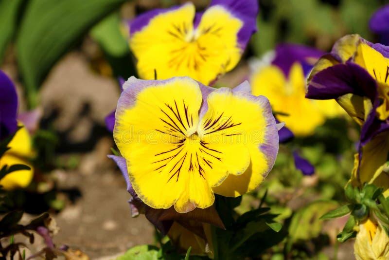 Pens?en ?r en fantastisk blomma, och dess f?rgkombination ?r stor Altfiol tricolor var hortensis Viola Wittrockianna Pansy arkivbilder