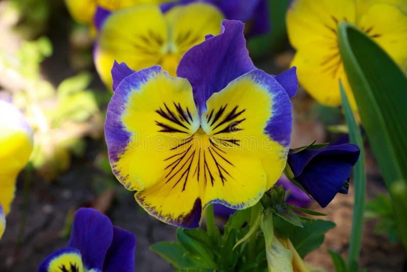 Pens?en ?r en fantastisk blomma, och dess f?rgkombination ?r stor Altfiol tricolor var hortensis Viola Wittrockianna Pansy fotografering för bildbyråer