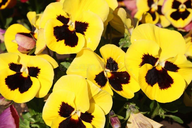 Pens?en ?r en fantastisk blomma, och dess f?rgkombination ?r stor Altfiol tricolor var hortensis Viola Wittrockianna Pansy royaltyfri bild