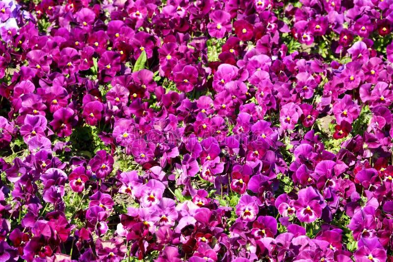 Pens?en ?r en fantastisk blomma, och dess f?rgkombination ?r stor Altfiol tricolor var hortensis Viola Wittrockianna Pansy royaltyfria bilder